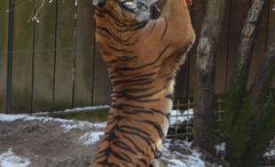 Zvieratá v zoo dostali vianočné darčeky