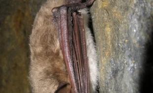 Zimné sčítanie netopierov na území NP Slovenský kras